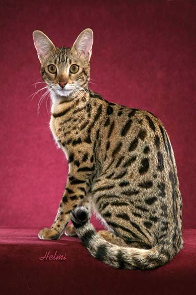 savannah cat. i want one :)