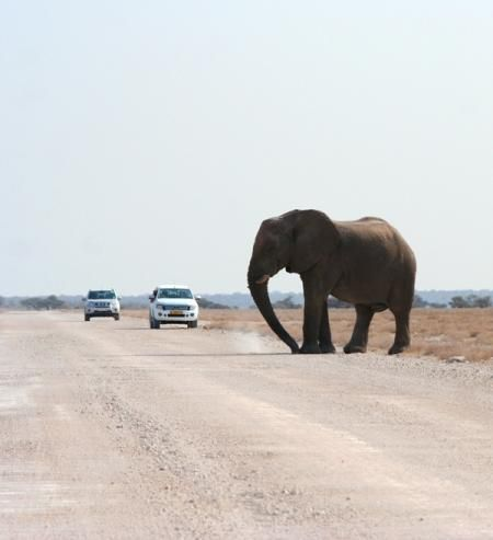Roadblock On Etosha's trails...massive bull stopped for a long time