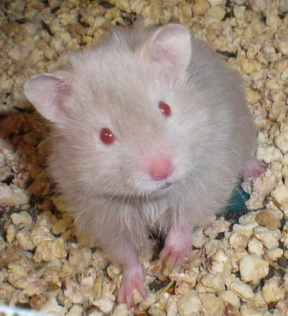 X video hamster