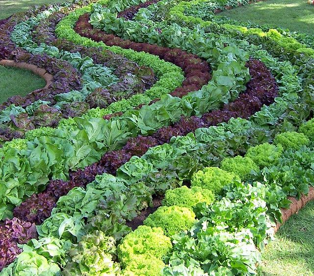 Beautiful rows in this edible garden. lovely! On next year's garden list.