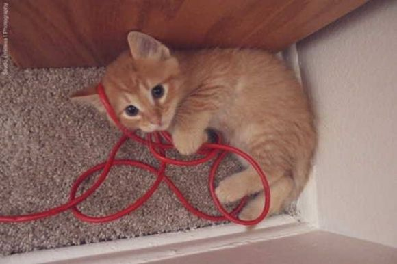 beautiful ginger kitten playing with a cord