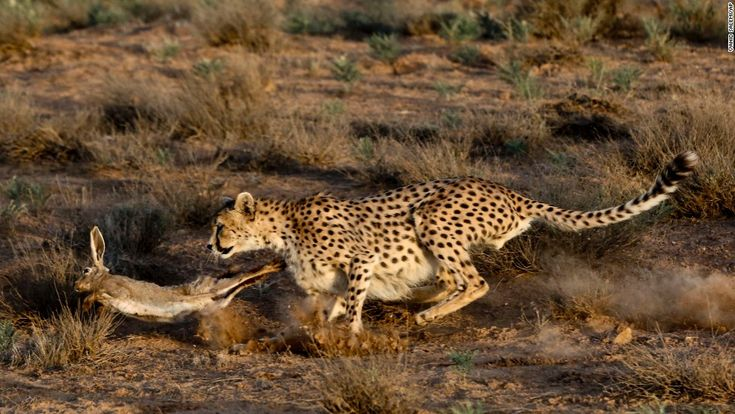 An Asiatic cheetah hunts a rabbit at the Miandasht Wildlife Refuge in Jajarm, Iran. Iran is conducting a campaign to save the Asiatic cheetah, a species that is dwindling in the region - by Vahid Salem, Iranian