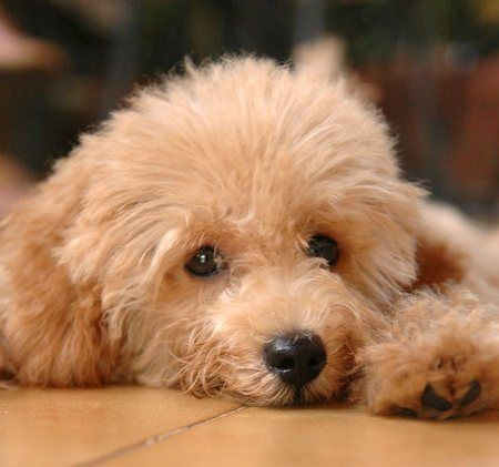 Toy Poodle, I think I ate too much