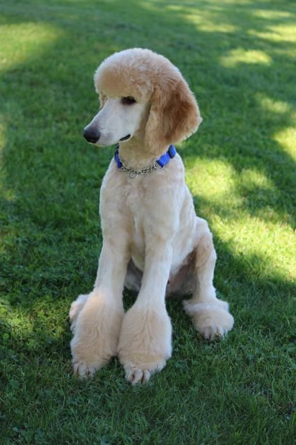 Check out his new do! - Poodle Forum - Standard Poodle, Toy Poodle, Miniature Poodle Forum ALL Poodle owners too!