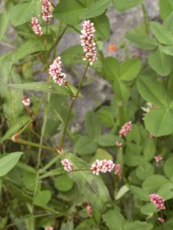 rdesno červivec - Persicaria maculata   Květena České republiky - plané rostliny ČR   www.kvetenacr.cz  