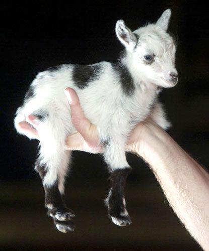 baby goat soooo sweet