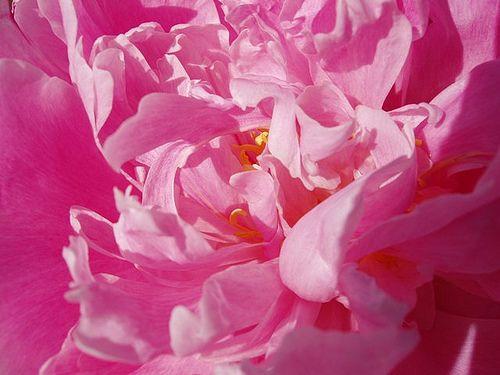 : Pink Flowers, Flowers Child, Peonies Flowers, Colors Pink, Pink Jmhspragu, Peonies Heart, Floweri Thoughts, Pink Peonies, Colors Inspiration