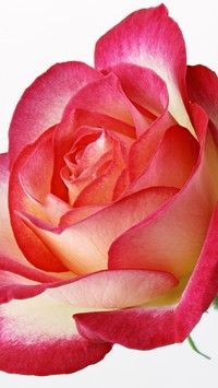 Róża nas zachwyca a jej kolce ranią