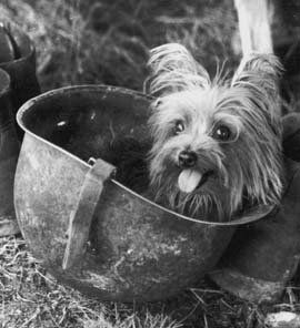 Smoky is the smallest of the Famous Military dogs. She was a 4 lb, 7 inch tall, Yorkshire Terrier who served in World War II. For the next 2 years Smoky lived a soldiers life. She flew 12 air/sea rescue and photo reconnaissance missions, secured in the soldiers backpack and urvived 150 air raids. After the war Smoky was flown back to the US hidden in a oxygen mask carrying case. For the next 10 years she made public appearances in Veterans hospitals until her death in 1957.
