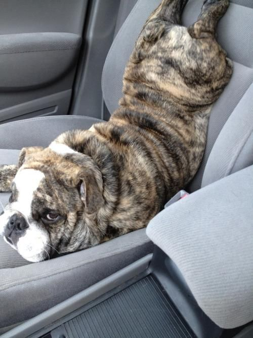 this is just ridiculous, I love DOGS!: Puppies, Funny Dogs, Mondays, English Bulldogs, Pet, Doggies, Cars Riding, Cars Seats, Animal