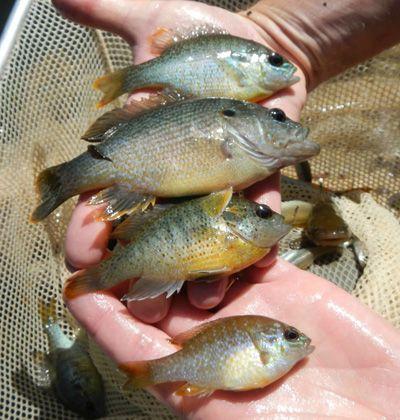 how to prepare bream fish