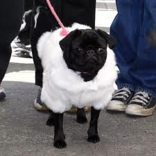 Pug Sheep Halloween costume! AWWW