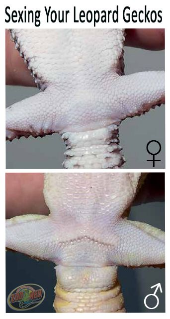 Know if your leopard gecko is a male or female with this quick test.