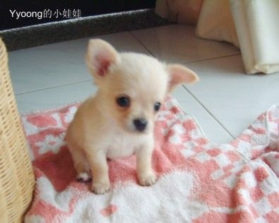 chiuaua puppies for sale in ky 29 best my puppies that i sell images on pinterest cubs 8234