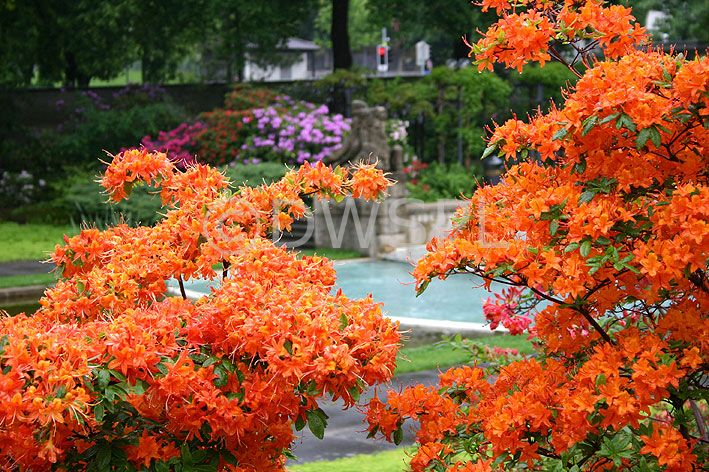 Love Love Love The Orange Azalea Bush Have To Get One Of