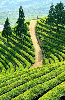 "Green tea from Boseong County has won an ""organic"" certification from the Control Union World…"