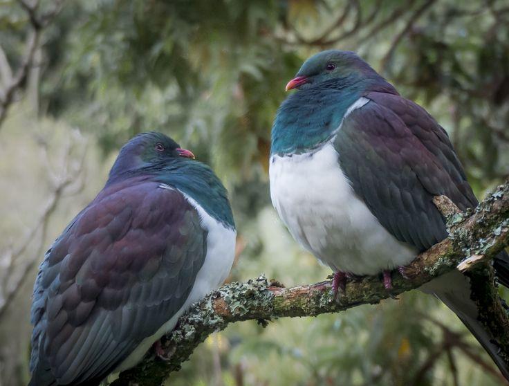 Kereru. New Zealand Woodpigeon. www.wharepuke.co.nz