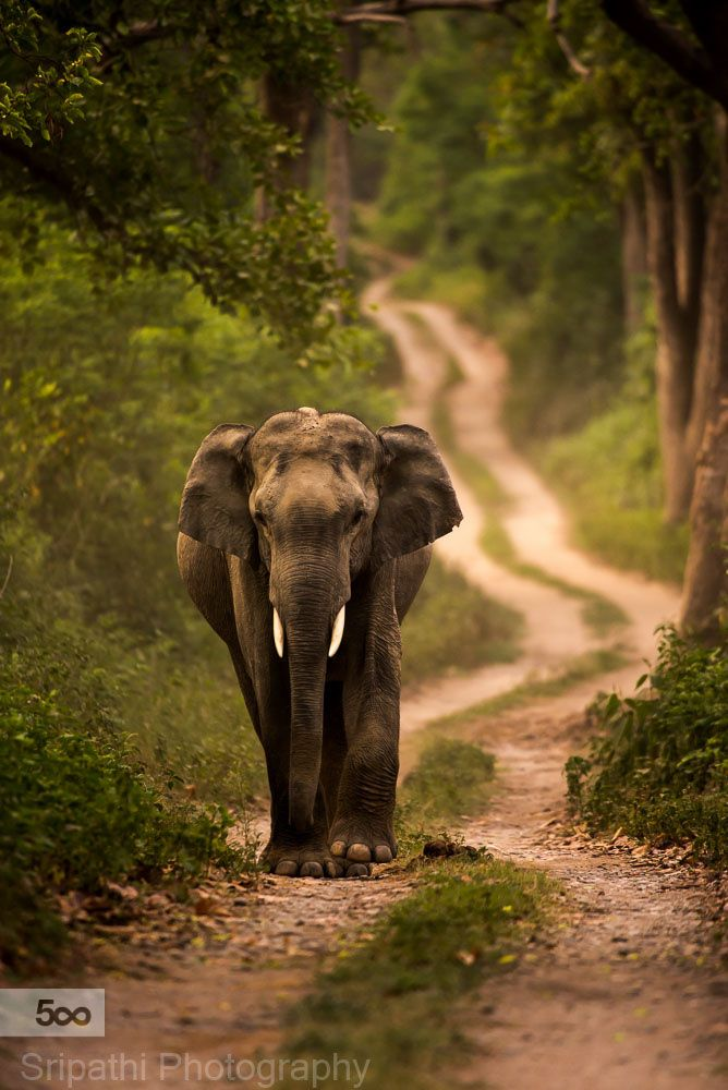 334 best elephant love images on pinterest wild animals fluffy elephant bulls move out of the herd once they reach audlthood and lead publicscrutiny Gallery