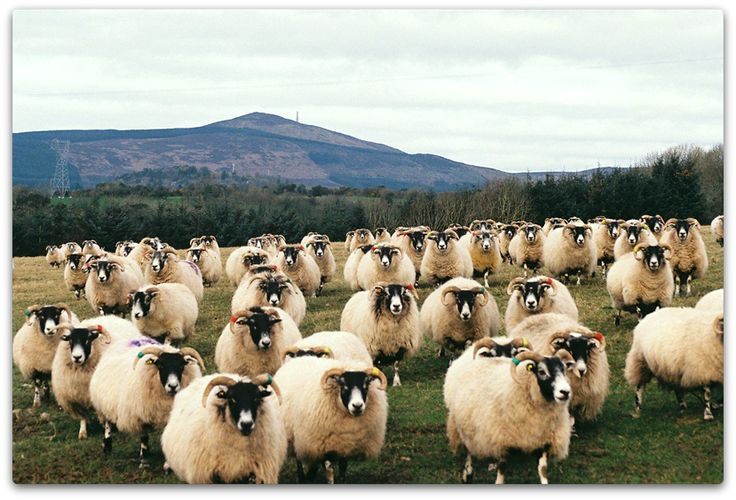how to say sheep in irish