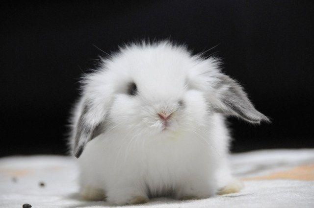 うさぎの人気種類ランキング10選 品種ごとの価格や大きさ ペットブログ うさぎ かわいいウサギ ペット