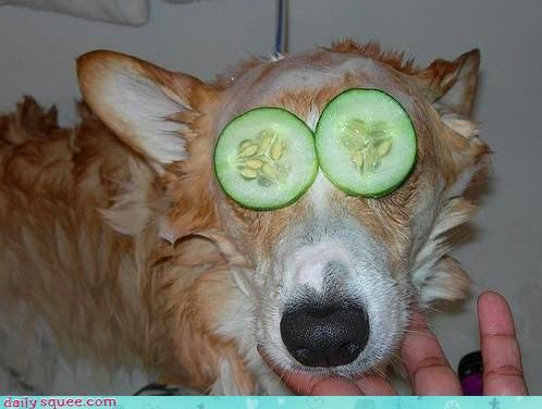 spa day!: Cucumber Eye, Dogs, Puppys Doggies, Funny Humor, Spa Day, Funny Stuff, Facials, Corgi Spa, Doggies Spa