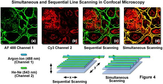 Olympus Microscopy Resource Center | Confocal Microscopy - Spectral Bleed-Through Artifacts in Confocal Microscopy
