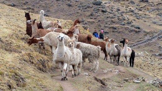 Hiking with lamas in Peru #animals #activity #trekking #nature #kilroy