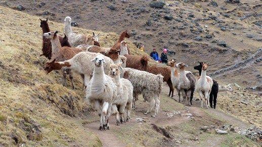 Hiking with lamas in Peru #animals #activity #trekking #nature #kilroy