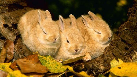 Fond d'écran de bébés lapins