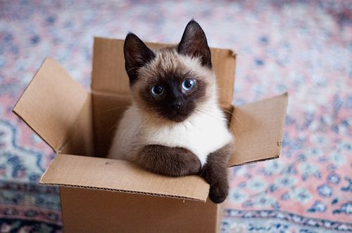 Where Can I Find Siamese Cat For Sale? - 2016 Siamese Cats
