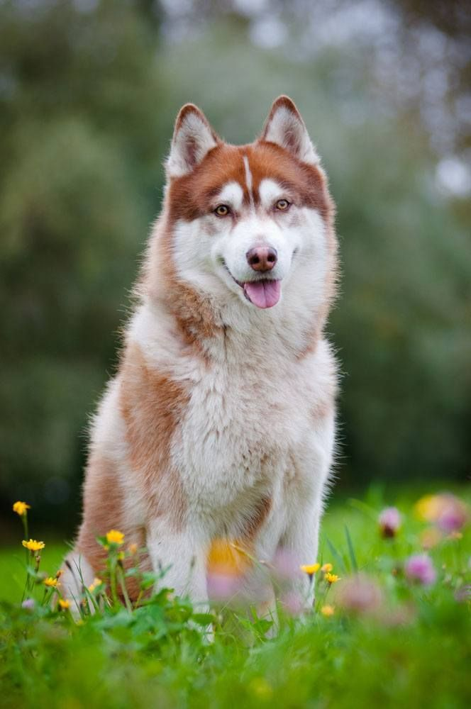 We think the Siberian Husky names of Sky, Aurora, or Polaris would make great naming choices for this beauty. Find more name ideas for this special breed here>>> http://www.dog-names-and-more.com/Siberian-Husky-Names.html