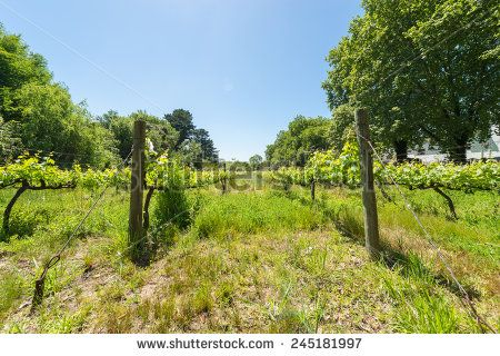 http://www.shutterstock.com/pic-245181997 Constantia Grape Wineland Countryside Landscape Background Of Hills With Mountain Backdrop In Cape Town South Africa Stock Photo 245181997 : Shutterstock