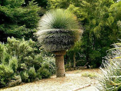 Poetic Shutterbug: Wordless Wednesday - Australian Grass Tree