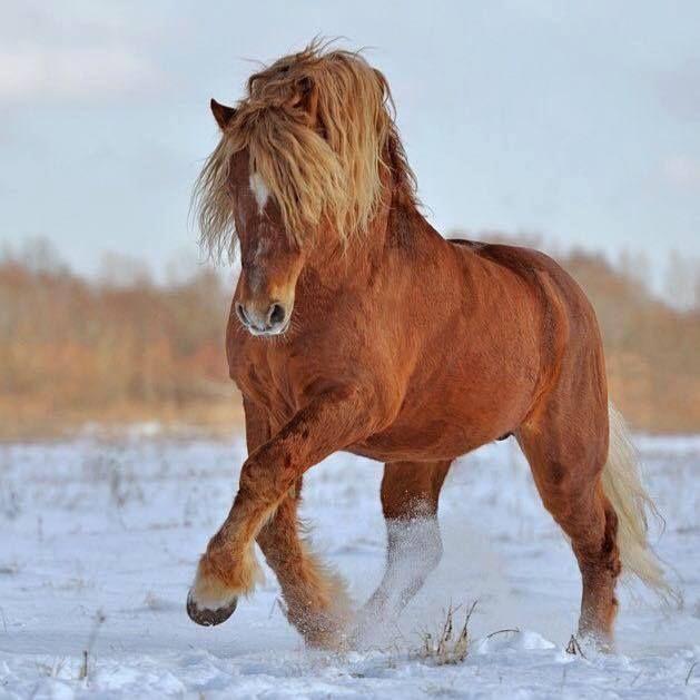 Strong fuzzy horse running through the snow. (101) Horses & Freedom - Photos