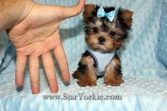 Photos for Star Yorkie - Teacup & Toy Puppies for Sale   Yelp