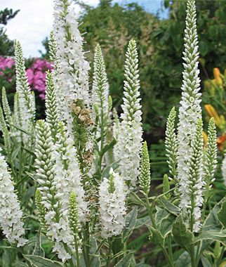 34 best images about low maintenance gardening on for Low maintenance border plants