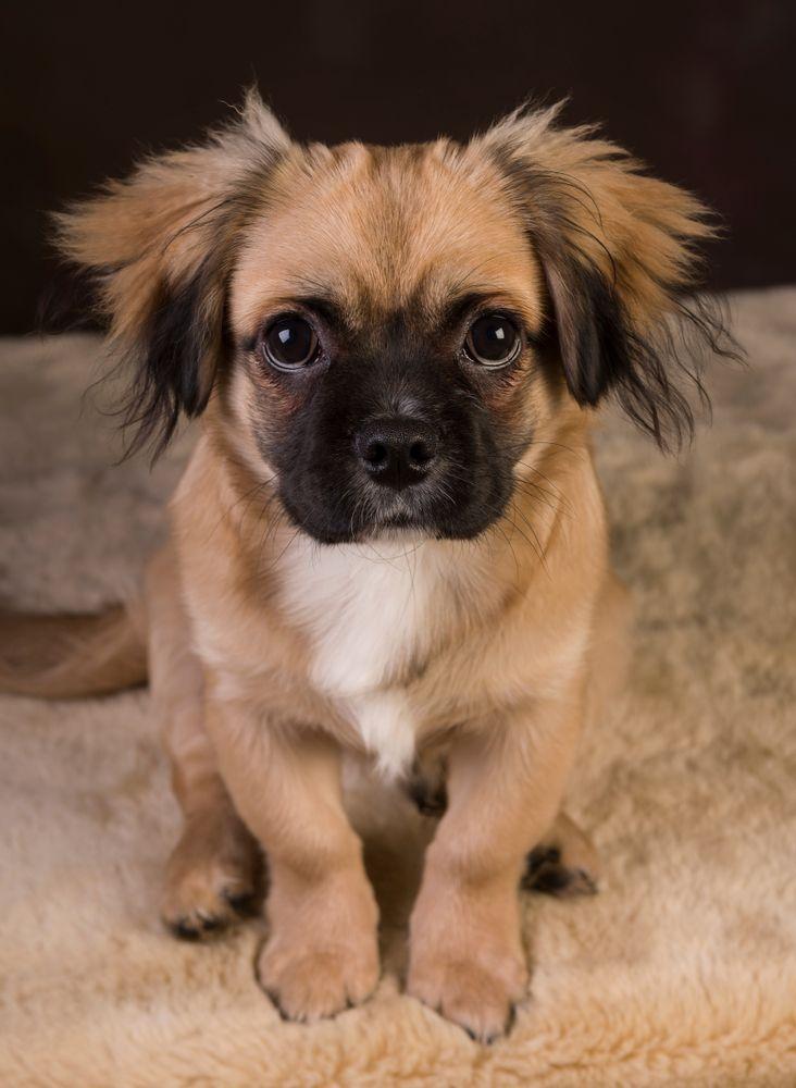 Pom A Pug Dog Breeds Pug Mixed Breeds Dogs