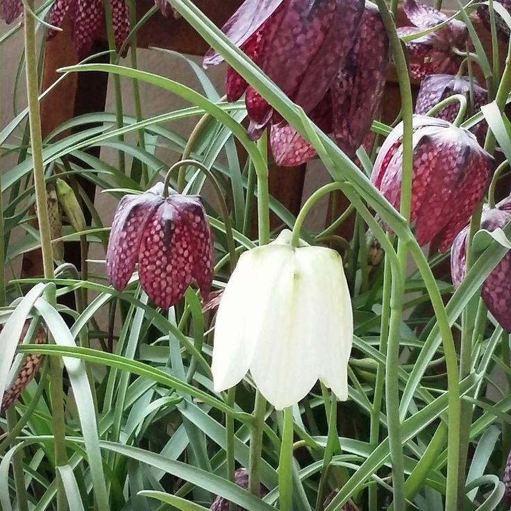 34 besten schachbrettblumen fritillaria meleagris bilder auf pinterest herbst pflanzen und. Black Bedroom Furniture Sets. Home Design Ideas