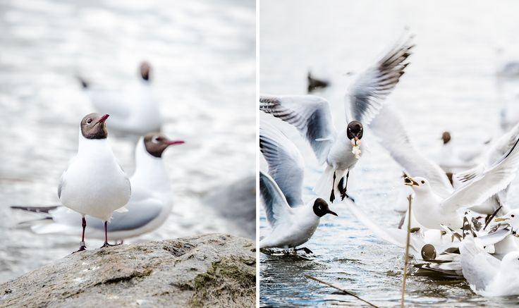lintuvalokuva, bird, birds, scandinavian birds, lilychristina, lilychristina photography, luontokuvaus, eläinkuvaus, luontokuvat, nature picture, book cover, bird picture, seagull