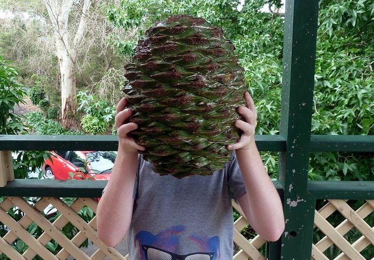 Cones of the monkey puzzle tree (Araucaria araucana) are huge.  This tree originates from South America, esp. Chile