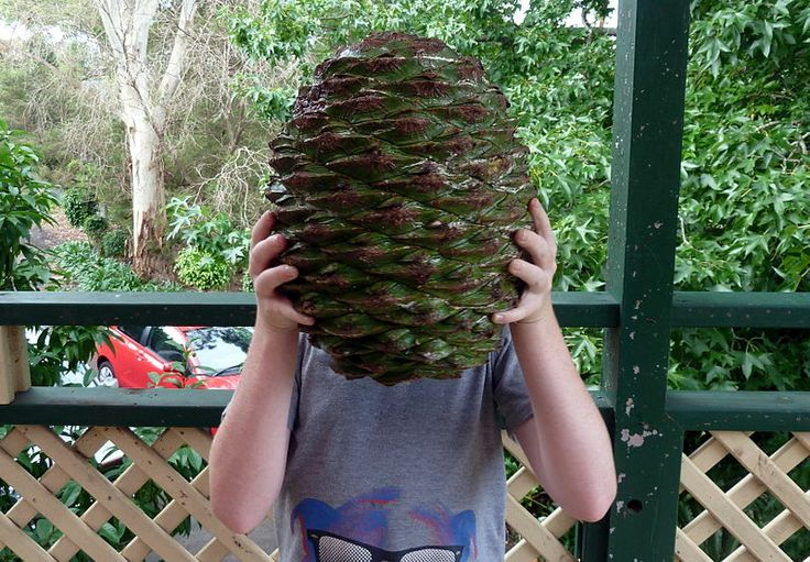 Cones of the monkey puzzle tree (Araucaria araucana) are huge.  This tree originates from South America, esp. Chile