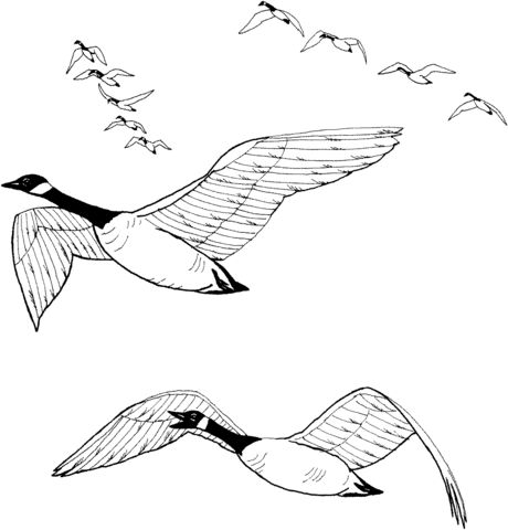 Flock of Canada Geese coloring page from Gooses category. Select from 20946 printable crafts of cartoons, nature, animals, Bible and many more.