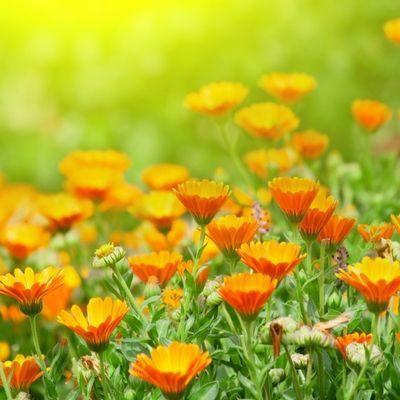 A körömvirág - avagy a calendula jótékony hatásai