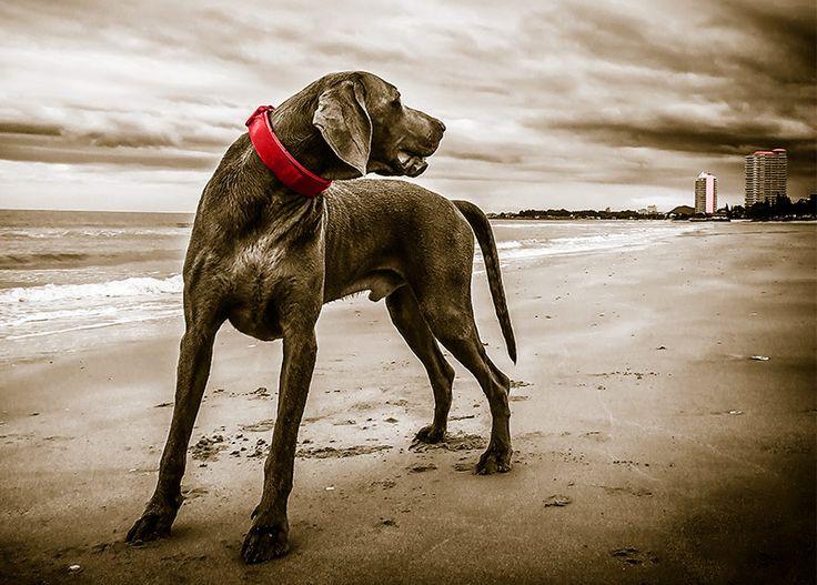 WallArt - Beach Dog - Presentorium