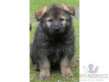 Prodám štěně NO - fenku [ec.jpg]