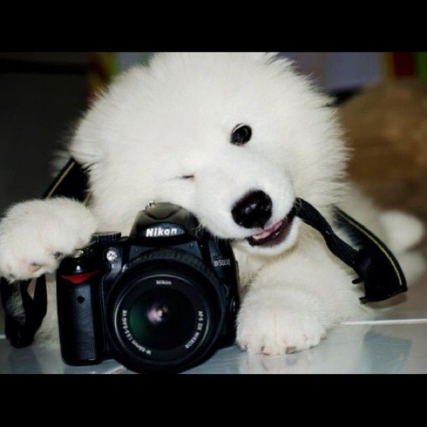 They work really well with cameras. | Undeniable Proof That Samoyeds Are Irresistible Dogs