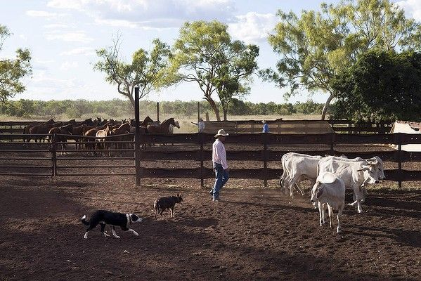 Anthony Cox, Manager of Delamere Station in the Northern Territory prepares his dogs for the following days cattle muster. Photo by Melanie Faith Dove