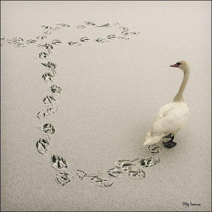 swan, snow