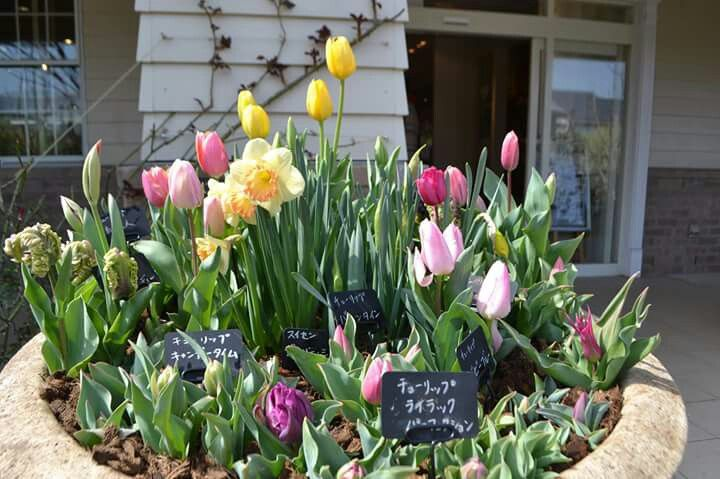 第33回全国都市緑化よこはまフェアがいよいよ始まりました。横浜イングリッシュガーデンもパートナー会場として、テーマフラワーである桜、チューリップ、バラを例年以上の装いで皆様をお迎えいたします! 5月7日までは、英国風装飾とともにお楽しみください(^^♪ 3月28日には、上田広樹さんによる「'春'を楽しむ寄せ植え」作りが開催されます。植物や器選びがオシャレで人気の上田さんの寄せ植え作り、楽しみです! ガーデン棟入口のご休憩エリアもリニューアル致しました。ガーデン内でのお食事はご遠慮頂いていますので、こちらのスペースでごゆっくりお食事やお茶の時間をお過ごしください。