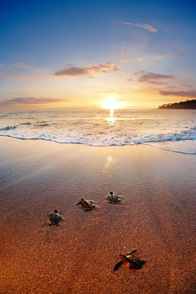 Baby green turtles make their way to the ocean for the first time at sunset. Lombok, Indonesia.